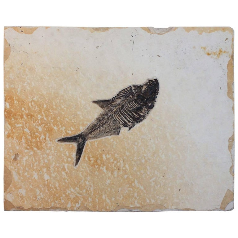 Diplomystus Fish Fossil from the Green River Formation