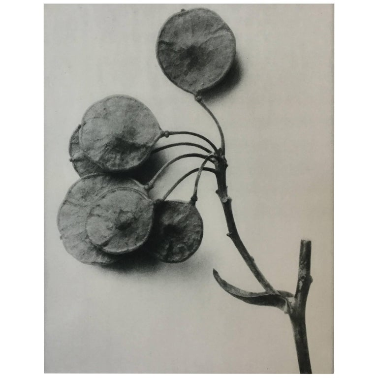 Karl Blossfeldt Photogravure First Edition, 1928
