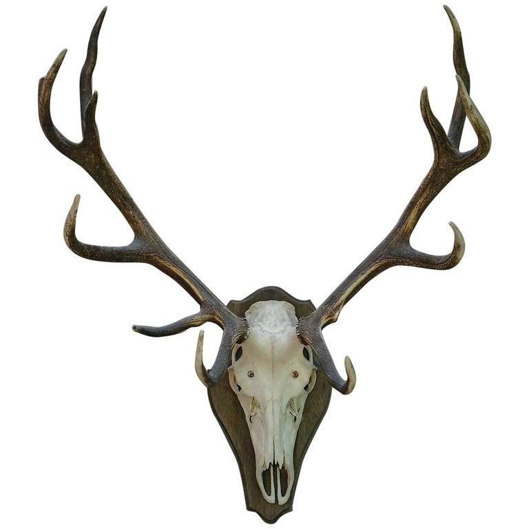 Antlers For Sale >> Mounted Red Deer Antlers