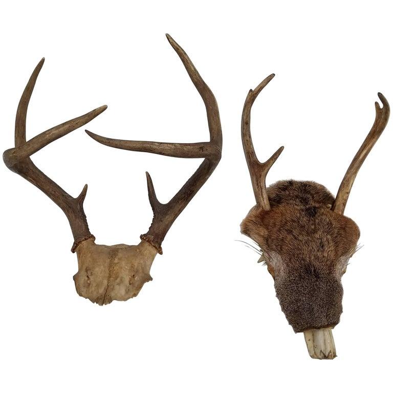 Pair of Deer Taxidermy Antlers 1