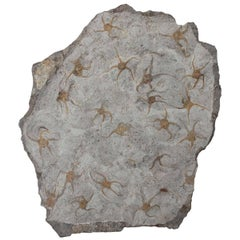 Ordovician Brittle Star Fossil from Morocco
