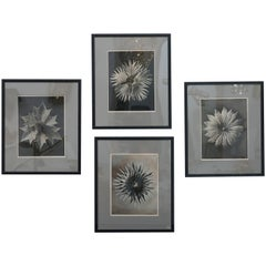 Set of Four Karl Blossefeldt Prints