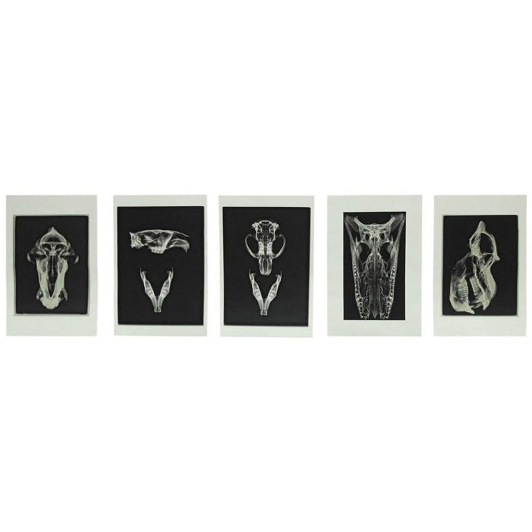 Set of Five X-Rayed Animal Skull Prints For Sale