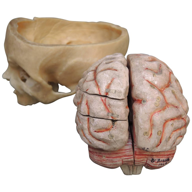 French Papier Mâché Scientific Model of the Brain by Dr. Auzoux