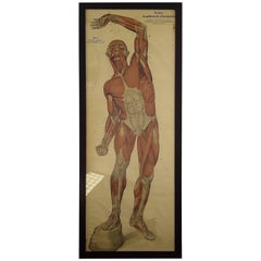Frohse Anatomical Chart, Circa 1910