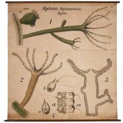 Vintage Wall Chart Lithograph Hydra by Paul Pfurtscheller for Martinus Nijhoff