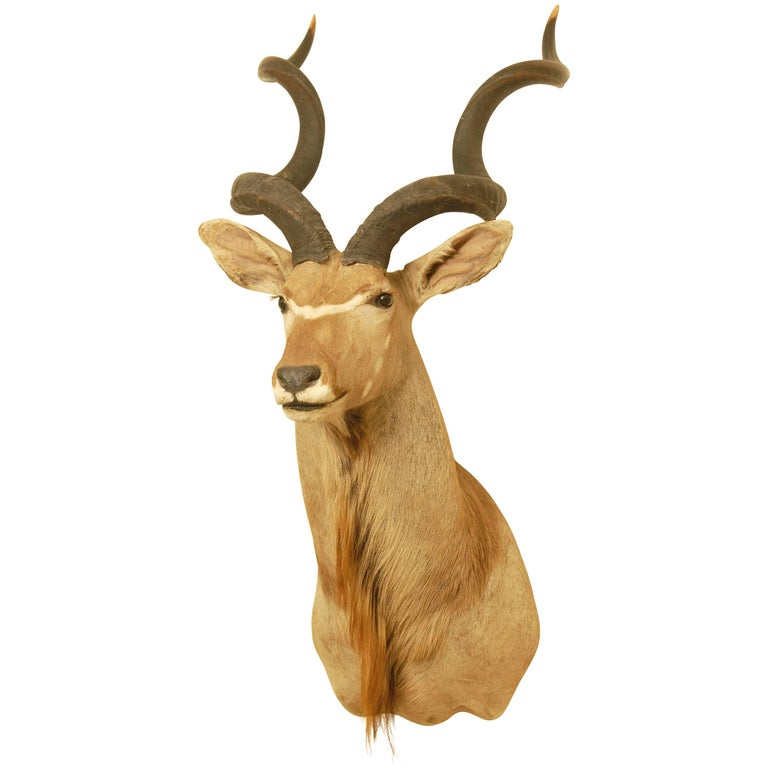 African Greater Kudu Taxidermy Head and Shoulder Mount For Sale