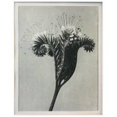 Blossfeldt Photogravure First Edition, 1928