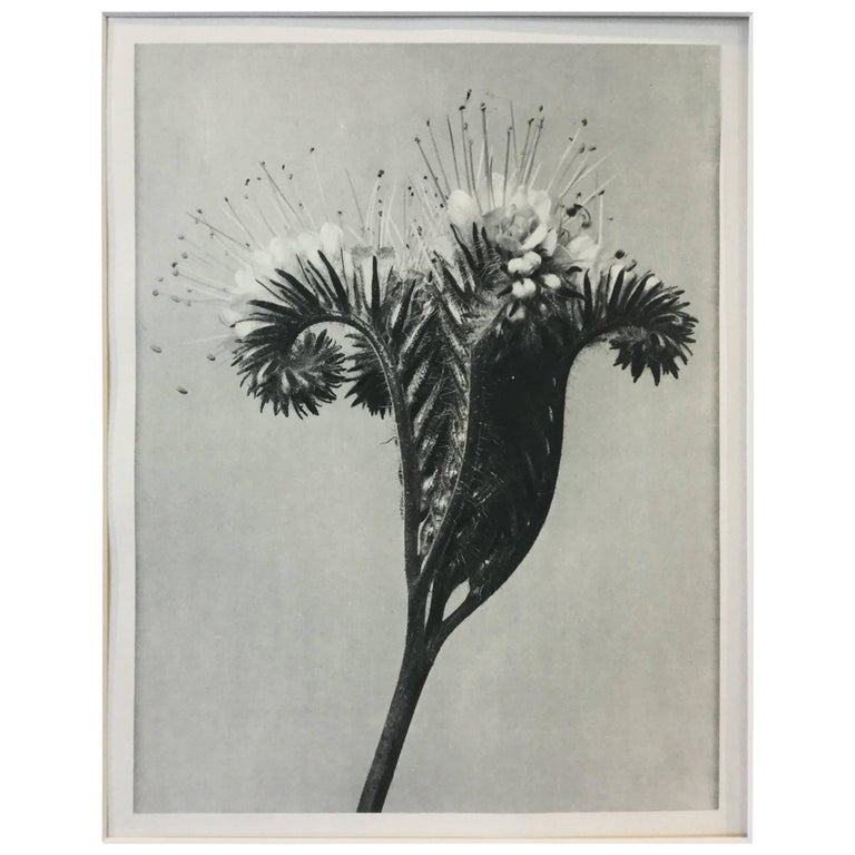 Blossfeldt Photogravure First Edition, 1928