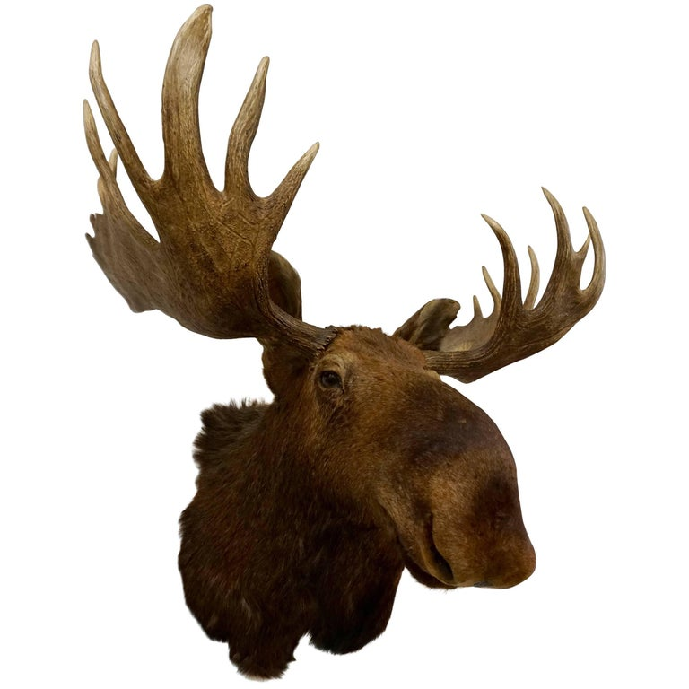 Bullwinkle! Taxidermied Moose Head and Antlers For Sale
