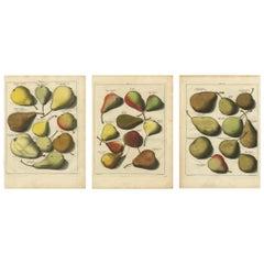 Set of Three Antique Prints of Pear Variaties by J.H. Knoop, 1758