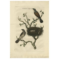 Antique Print of a Red-Backed Shrike 'Lanius Collyrio' by Sepp & Nozeman, 1770