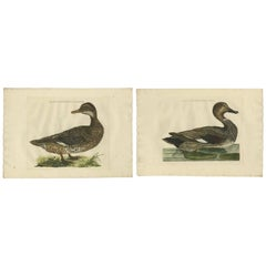 Set of Two Antique Bird Prints Male and Female Gadwall Duck 'Anas Strepera'
