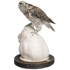 Fine Taxidermy Gyrfalcon on Tigers Head Sculpture by Sinke & Van Tongeren