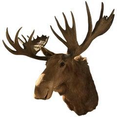 Massive Shoulder Mount of a Moose