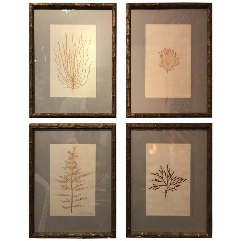 "Framed and Pressed French Alguier 'Herbier' ""Pressed Seaweed"" Specimens"