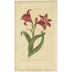 Antique Flower Print 'Amaryllis' by P. Miller, 1755