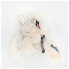 Art Print Titled 'Unknown Pose by Mute Swan I' by Sinke & Van Tongeren