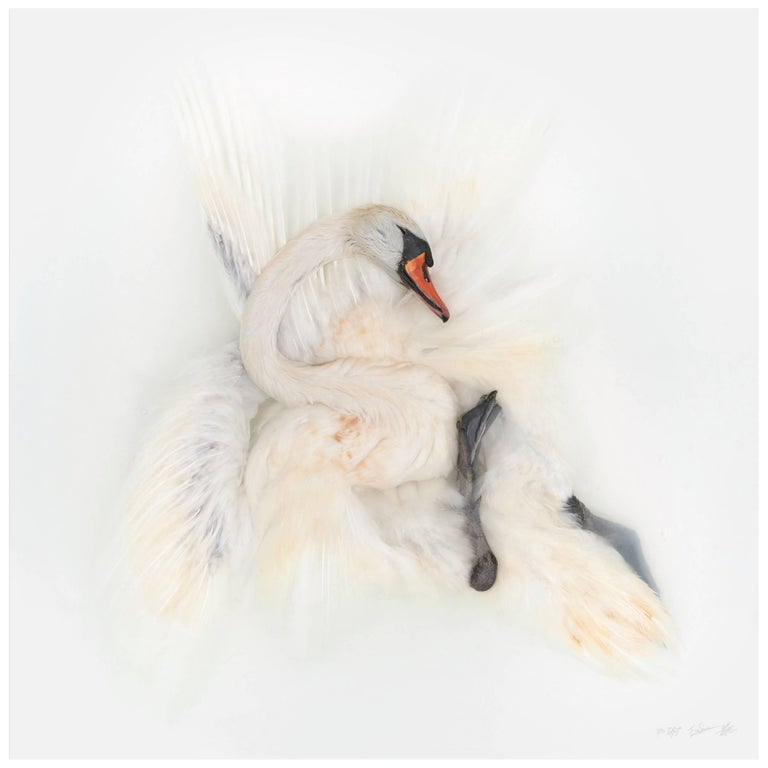 Art Print Titled 'Unknown Pose by Mute Swan I' by Sinke & Van Tongeren