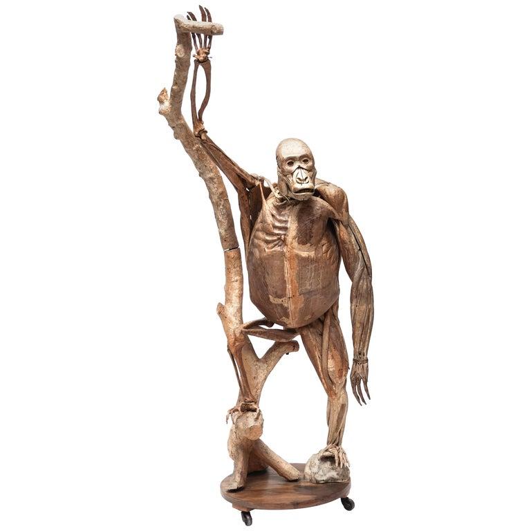 Anatomical Model of Gorilla by Dr. Louis Auzoux Plus Unique Handwritten Booklet