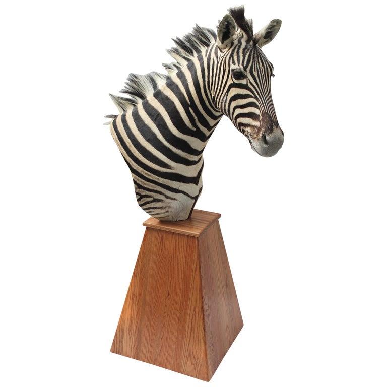 Taxidermy Zebra Mount