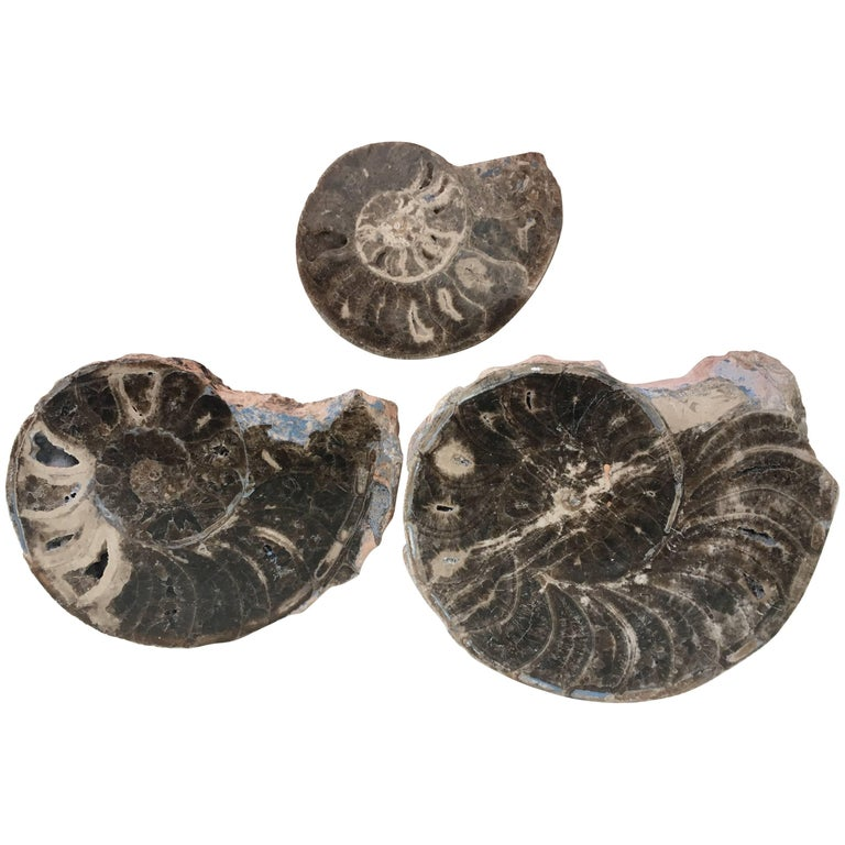 Set of Three Prehistoric Ammonite