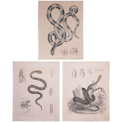 Set of Three Mid-19th Century Prints of Snakes by Anst. V. C. Schach, Germany