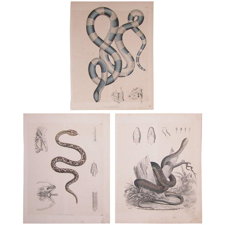 Set of Three Mid-19th Century Prints of Snakes by Anst. V. C. Schach, Germany For Sale