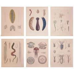 Set of Six German Mid-19th Century Prints of Various Deep Sea Creatures