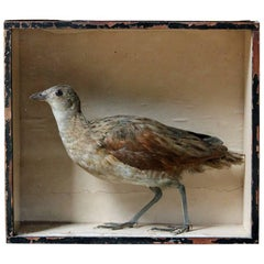 Early Museum Cased Taxidermy Corncrake circa 1860 in the Manner of Robert Duncan
