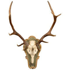 19th Century Red Stag Trophy of Emperor Franz Joseph from Bad Ischl Austria