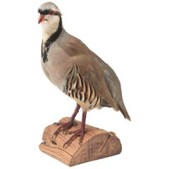 Partridge Taxidermy, Newer with Great Coloring
