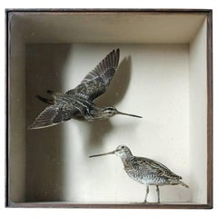 Taxidermy Pair of European Snipes by Joseph Cullingford of Durham, Dated to 1898
