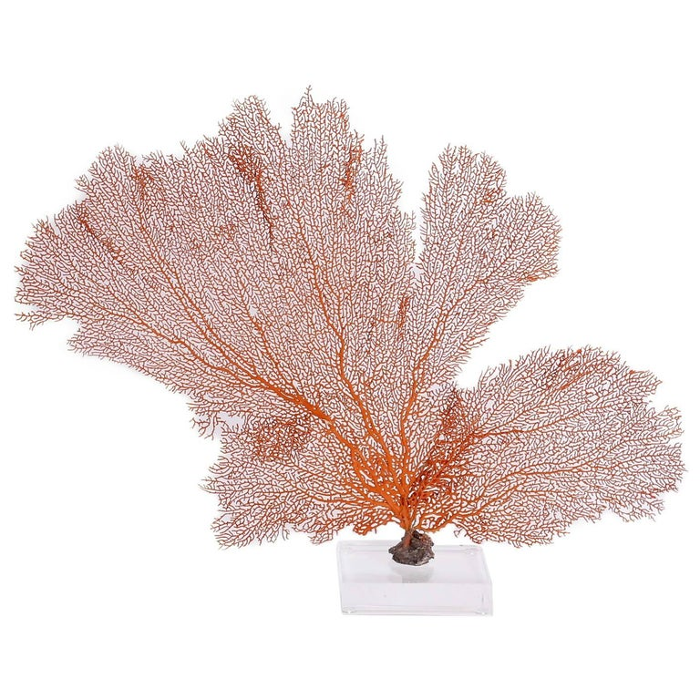 Natural Orange Sea Fan Specimen Mounted on Lucite