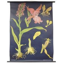 "Vintage Botanical West German Biology Print ""Orchis"" by Hagemann, Germany, 1968"