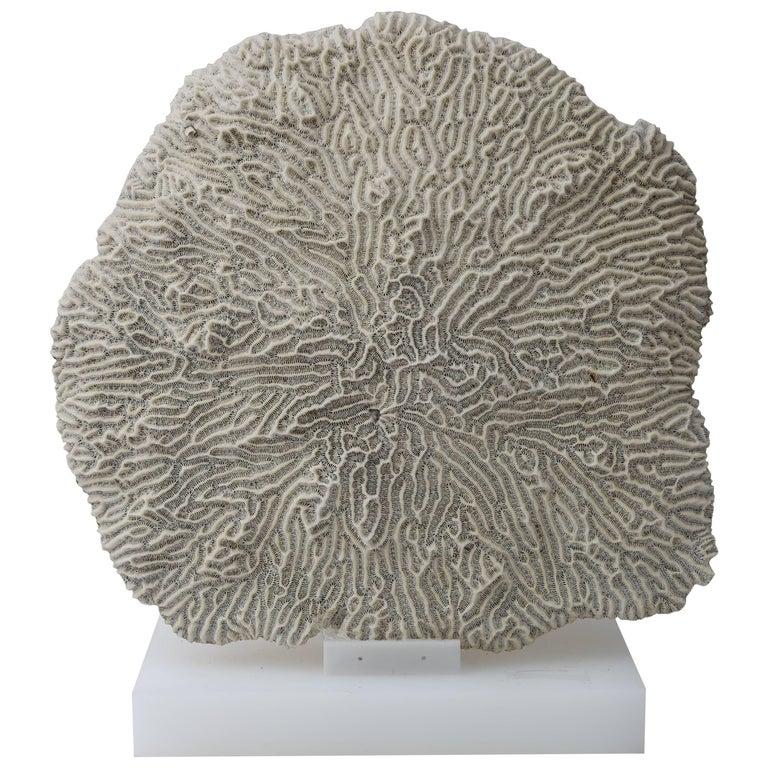 White Specimen Brain Coral