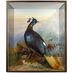 Edwardian Taxidermy Cased Monal Pheasant by Peter Spicer