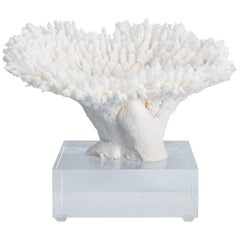 Table Coral Specimen on a Lucite Base
