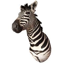 Taxidermy, Zebra, Vintage