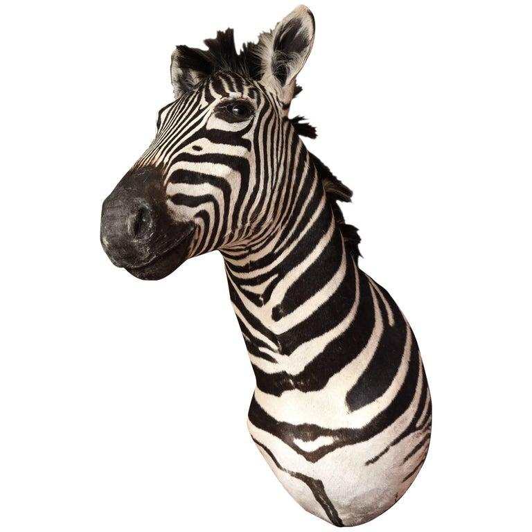 Taxidermy, Zebra, Vintage For Sale