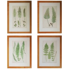 Set of Four Fern Botanical Engravings by Bradbury and Evans