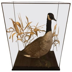 Taxidermy Canadian Goose in a Glass Case, Pre 1947, Cites