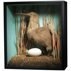 Taxidermy Kiwi Mounted in Designer Display Case