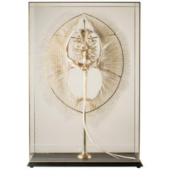 Huge Freshwater Stingray Skeleton in Artisanal Custom Made Glass Display Case