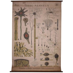Antique French Educational Scientific Chart, Tissu Nerveux by Denoyer-Geppert