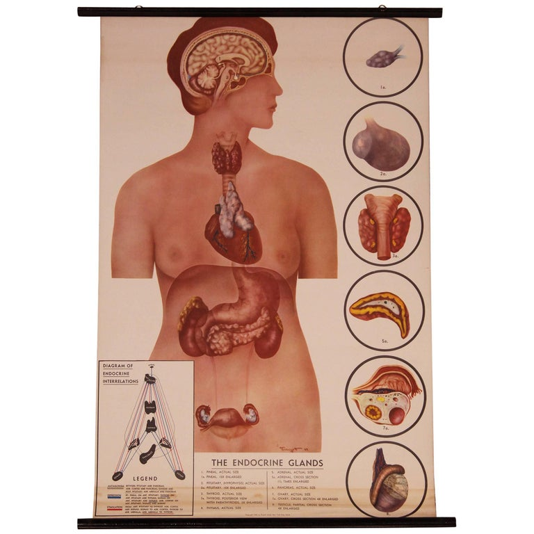 Vintage Educational Female Anatomy Chart The Endocrine