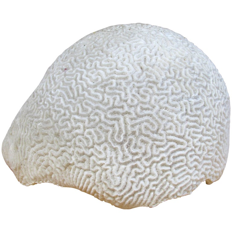 Large Brain Coral For Sale