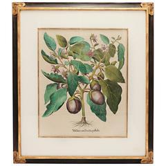 Basil Besler Botanical Print