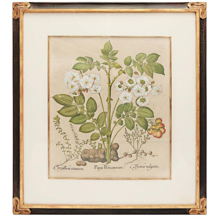 Basil Besler botanical print, 1613, offered by Spalding Antiques & Interiors