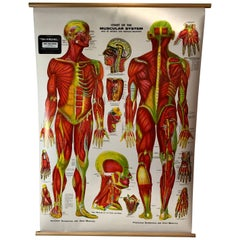 Vintage Anatomical Pull Down Chart 'Muscular System, GH Michel Chart Company
